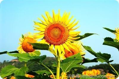 向日葵—沉默的爱